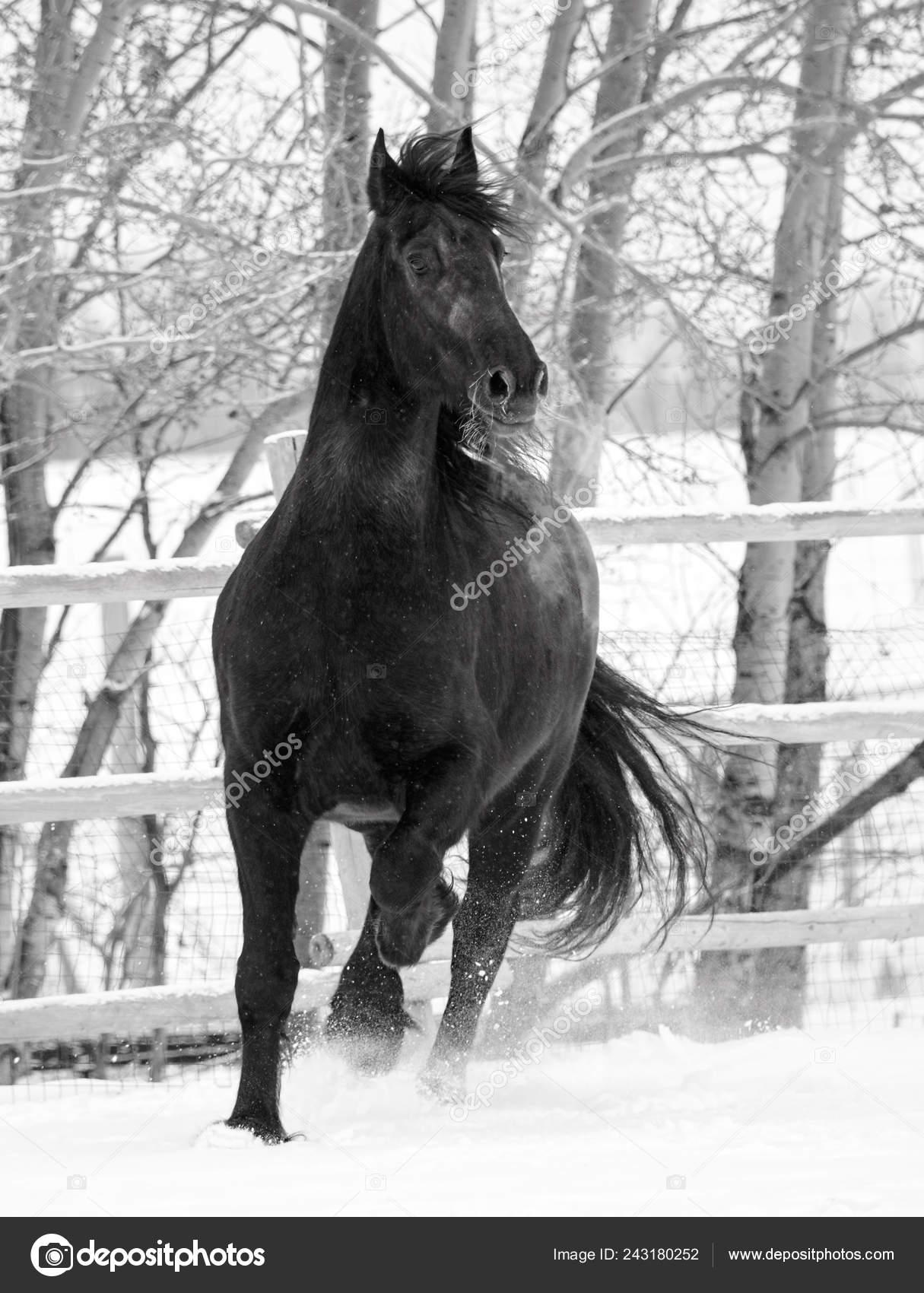 Black White Image Friesian Horse Running Snow Stock Photo C Feeferlump 243180252