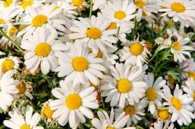 beautiful chamomile or daisy flowers as natural background