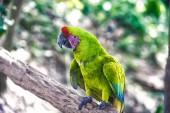 Fotografie green ara parrot outdoor