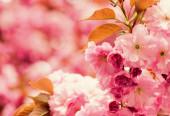 sakura virágzó fa., természetes virágos háttér. Gyönyörű tavaszi virágok. rózsaszín cseresznyefavirág. új élet kezdődik. természet növekedése és ébredés. Nők napja. anyák napi szabadság