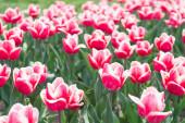 Přírodní pozadí. skupina růžových svátků tulipán květinové záhony. Kvetoucí tulipánová pole. Jarní krajinný park. země tulipánů. krása kvetoucího pole. slavný festival tulipánů. Perfektní jarní den