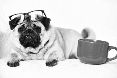 Cute pug dog with red mug on chair near red mug for coffee or tea