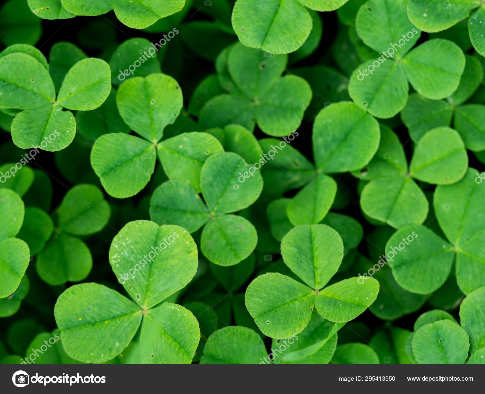 Four Leaf Clover In Green Grass Stock Photo C Artsandra 295413950