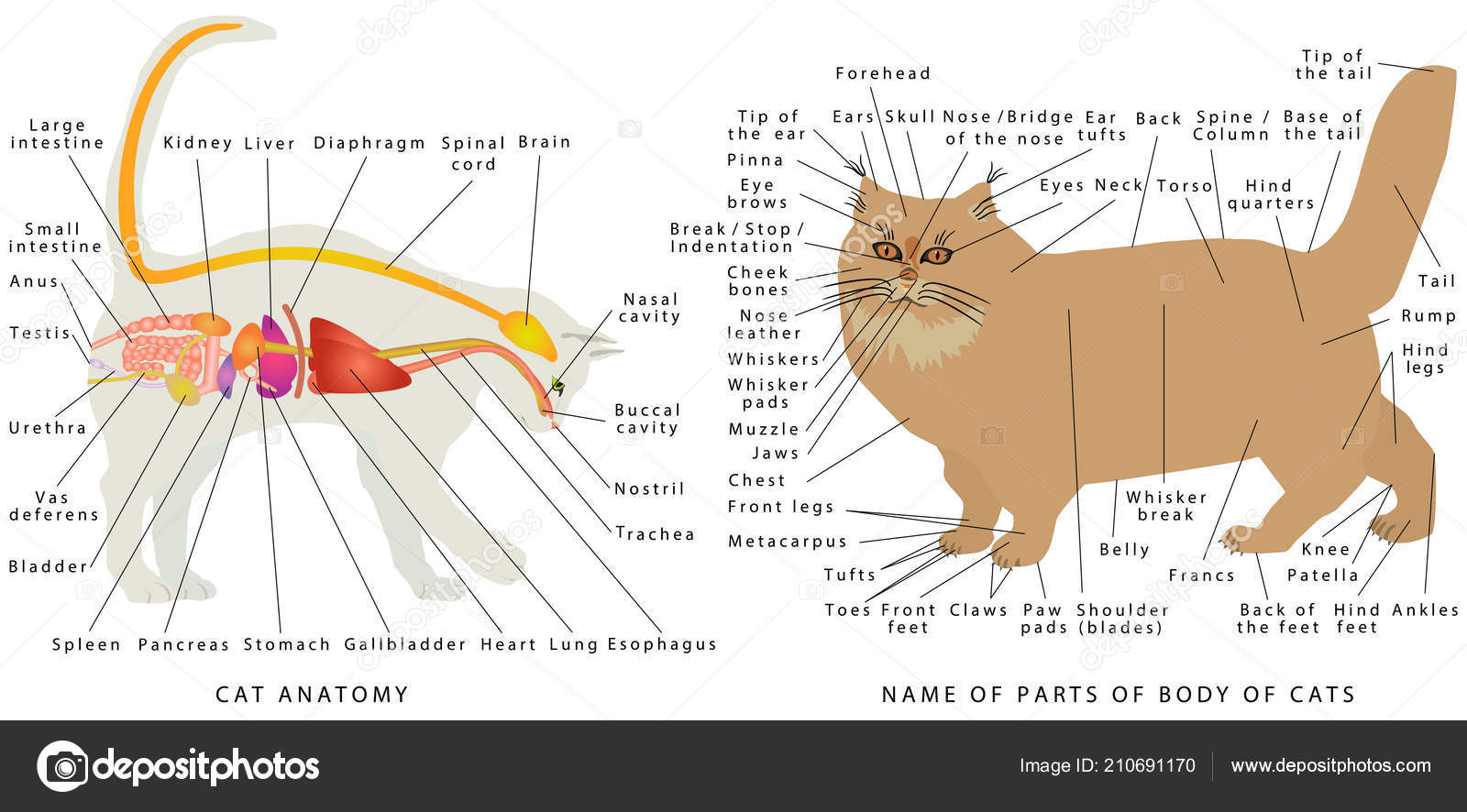 cat anatomy  domestic cat's anatomy  cat's organ anatomy diagram  digestive  system of the cat  schematic representation of a domestic cat