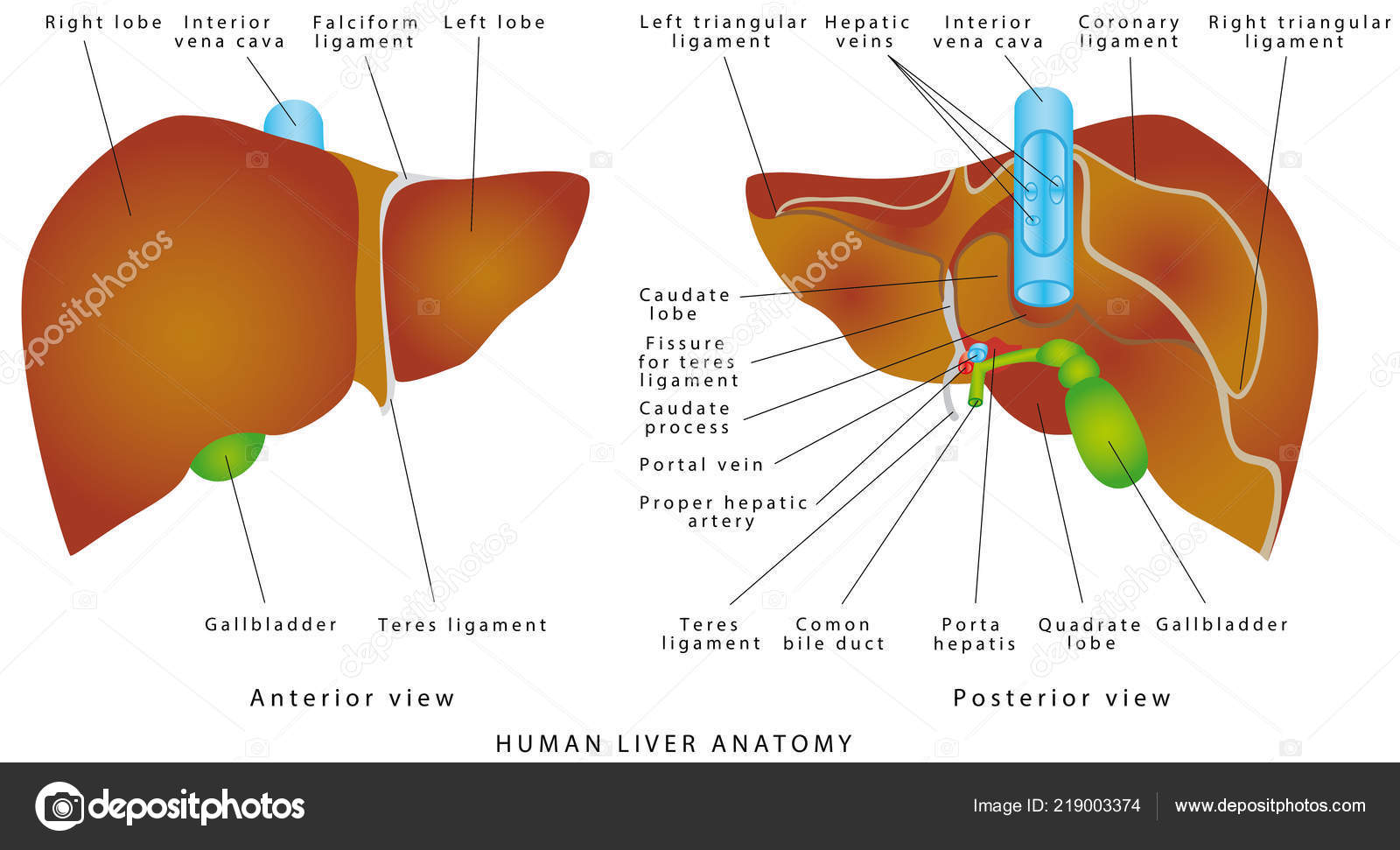Liver Anatomy Realistic Anatomical Model Healthy Human Liver