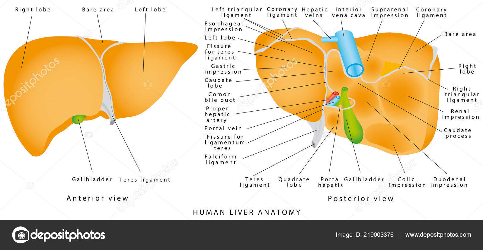 Anatomy Liver Realistic Anatomical Model Healthy Human Liver
