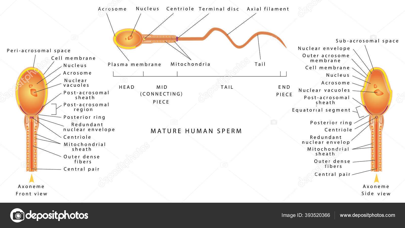What Makes A Fertile Sperm