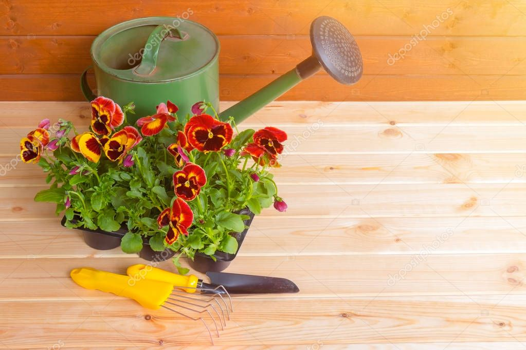 Seedlings of pansies flowers in pot, gardening tools and green watering can on wooden background. View with copy space.