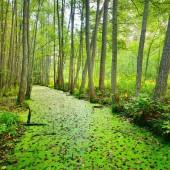 Fényképek Erdő mocsári borított növények békalencse (Lemna)