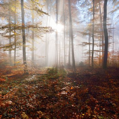 Mysterious morning fog in a beautiful beech tree forest. Autumn trees with yellow and orange foliage. Heidelberg, Germany stock vector