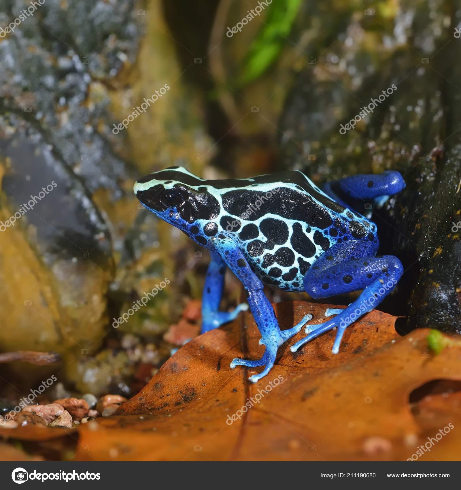 Blue Dart Frog Dendrobates Tinctorius Terrarium Colourful Bright