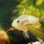 close-up view of tropical fish in aquarium