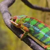 Fotografie Barevný chameleon Panther (furcifer pardalis) na pobočku v přirozeném prostředí