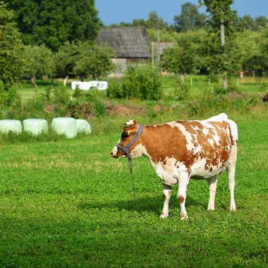 Cow standing in a green field against a forest on a summer day in Latvia stock vector