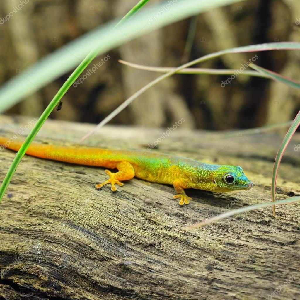 Cute tiny rainbow lizard gecko on a log in tall grass