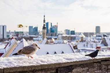 Sunny winter day, blue sky and clouds. Birds on the wall in the Old Town of Tallinn, Estonia
