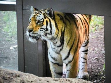 Shot of a tiger