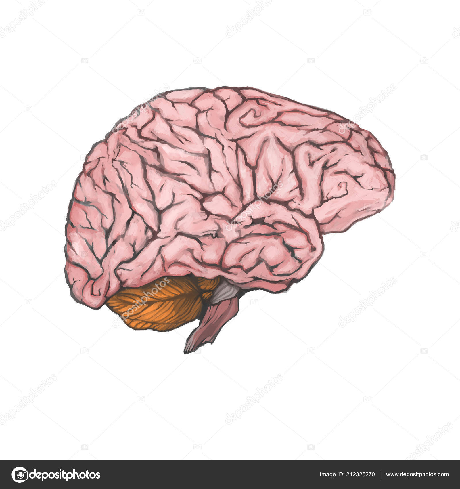Digital Painted Brain Isolated White Background Realistic Drawing