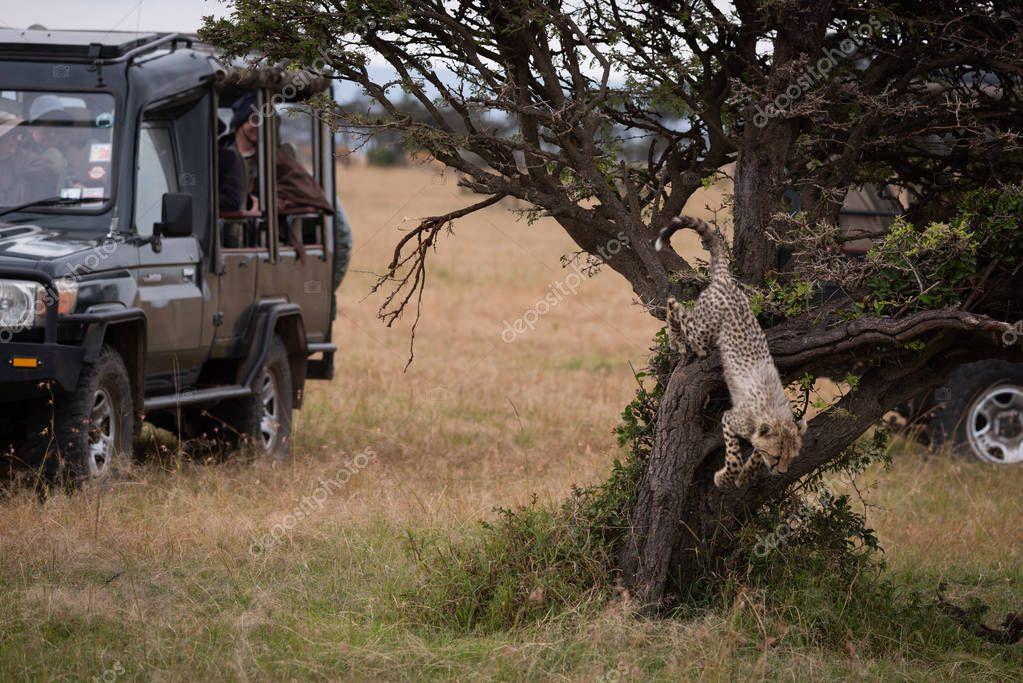 Cheetah cub jumps down tree by trucks