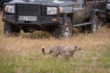 Cheetah cub walks past trucks in grass