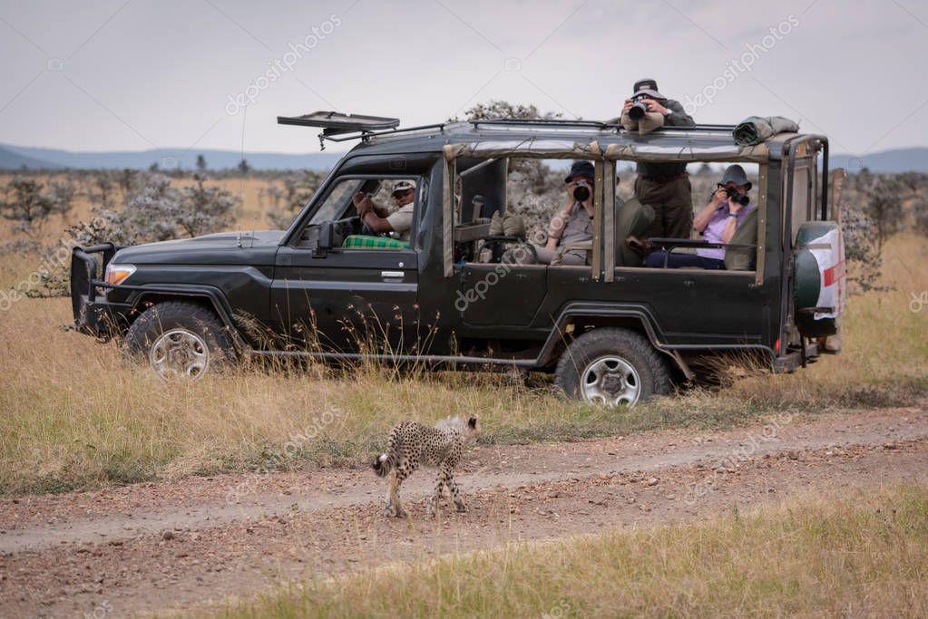 Cheetah cub walks past photographers in truck