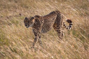 Cheetah walks through long grass in sunshine