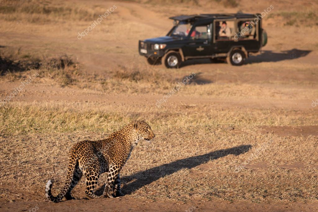 Leopard stands in grass near safari truck