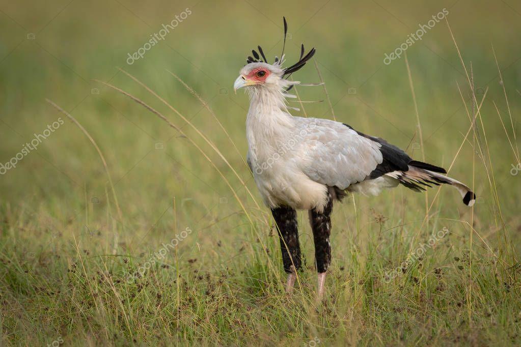 Secretary bird stands in grass in savannah