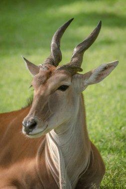 Close-up of common eland lying turning head