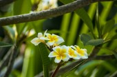 Fotografie beautiful frangipani plumeria flower photo