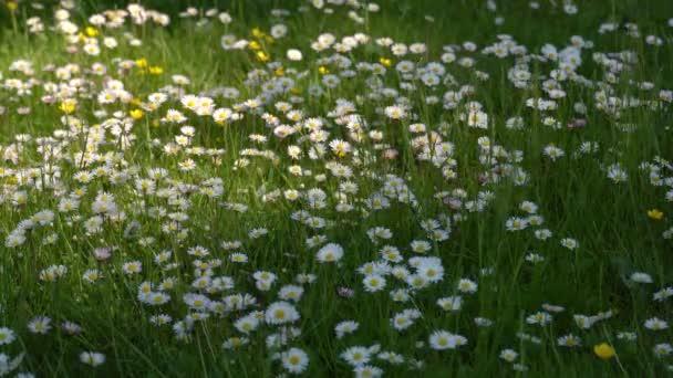 Fehér százszorszép mező. mező fehér százszorszépek a szél ringatózik közelről.