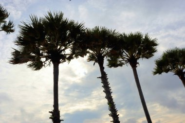 backgrounds and views, palm trees against the sky, sea and mountains