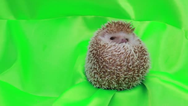 A cute hedgehog on green screen