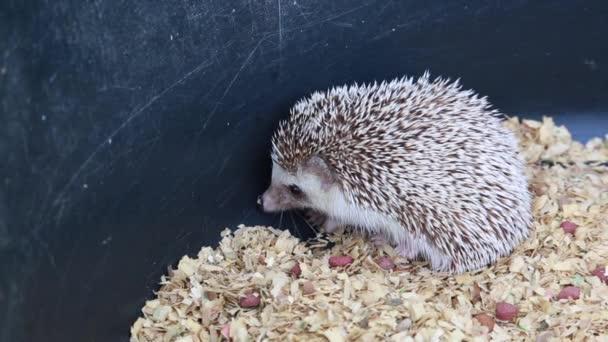 A cute hedgehog on green screen