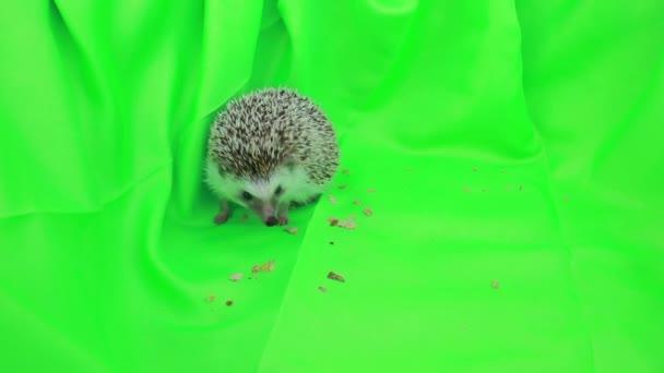 Egy aranyos sündisznó a zöld képernyő