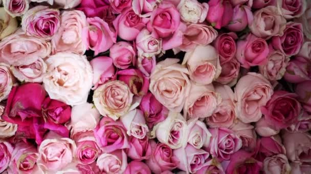 Pastel pink and white roses wall background video 4k
