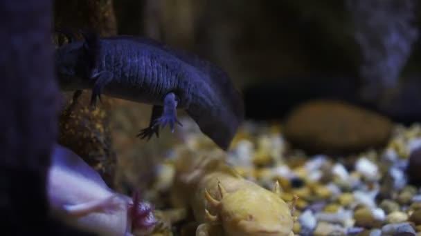 Wasser-Salamander unter Wasser niedlichen Smiley Eidechse wie Amphibien Tier