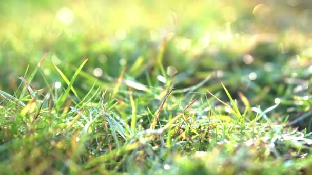 Morning sun grass lawn with dew drops background