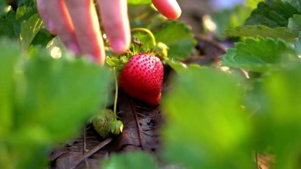 Közelről kezét eper szedés reggel biofarm lassítva