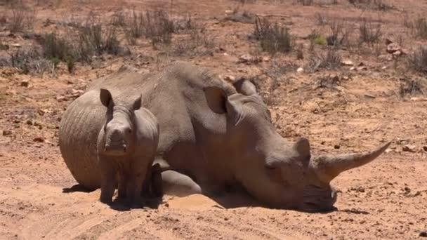 Dél-Afrika, szélesszájú orrszarvú baba egyik nagy öt állat