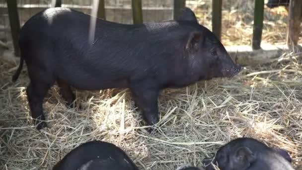 Kleine schwarze Schweinchen kratzen Bauch über Bambuskäfig