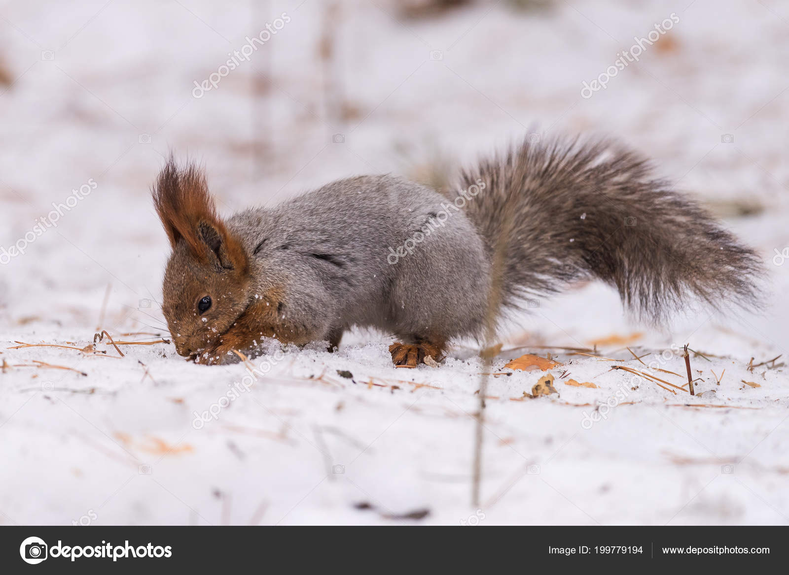 https://st4.depositphotos.com/2792031/19977/i/1600/depositphotos_199779194-stock-photo-squirrel-searches-food-snowy-forest.jpg