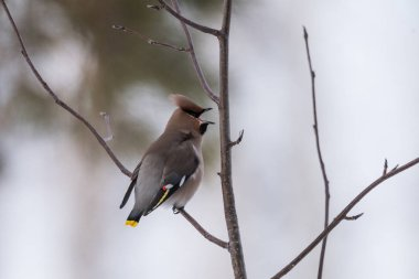 Waxwings on a tree branch with an open beak
