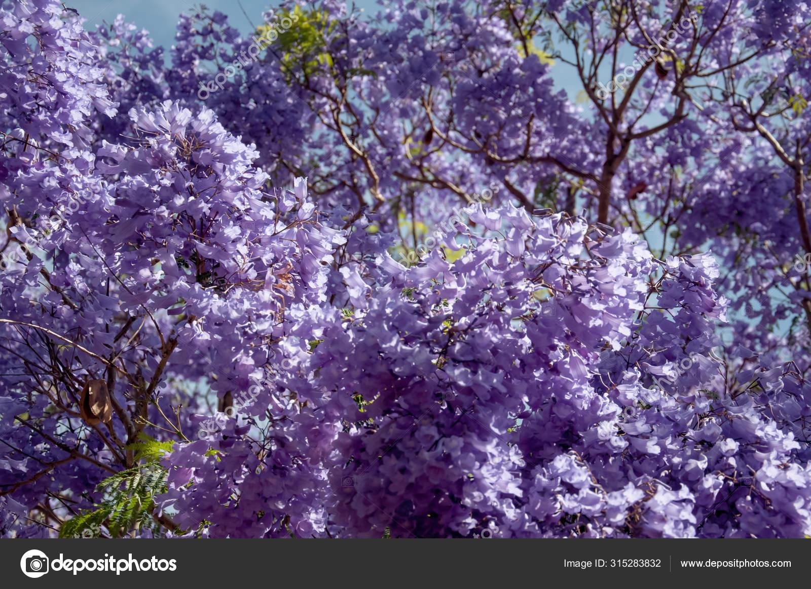 Jacaranda Tree In A Full Bloom With Beautiful Purple Flowers Stock Photo Image By C Daria Nipot