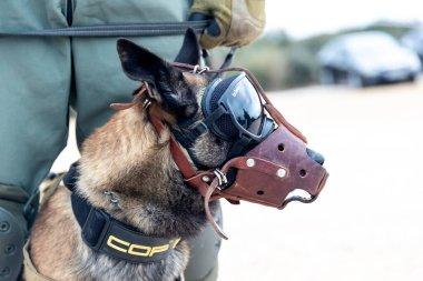 Askos, Yunanistan - 14 Şubat 2020: Askeri köpek, Yunan, Amerikan Ordusu ve 6 ülke arasında gerçek ateşle (Golden Fleece -20) uluslararası askeri tatbikata katıldı