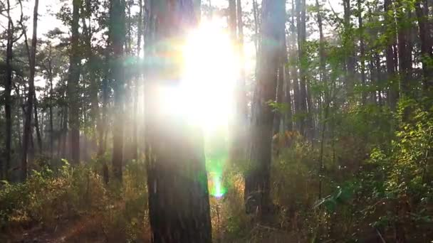sun flares at morning in deep green forests at flat angle