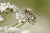 Makro Bee sání pyl z divoké bílé květy