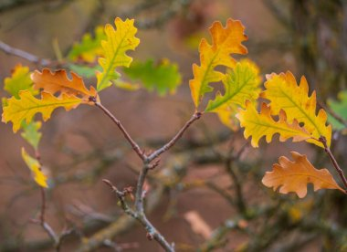 Detail shot of Valley Oak (Quercus lobata) leaves in  fall. Transitioning from green to fall colors.