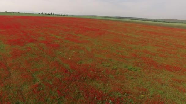 La telecamera scende in campo con i fiori rossi. vista di occhio di uccelli.