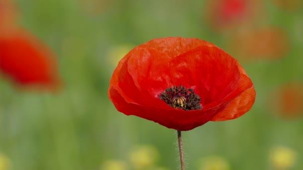 Mák virág nagy piros bud
